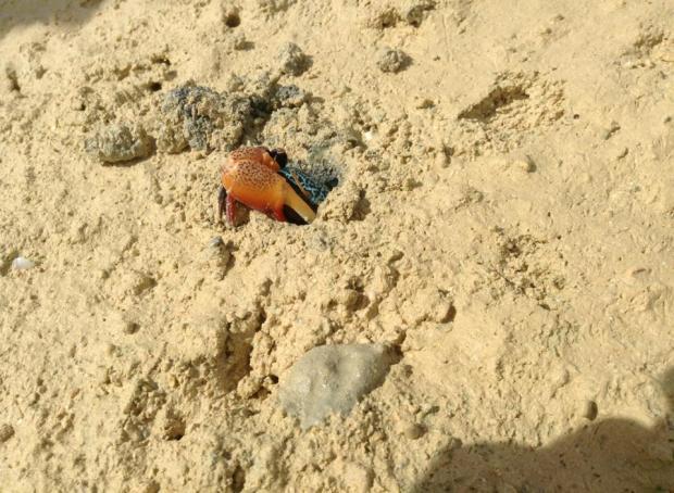 Okinawa Crab